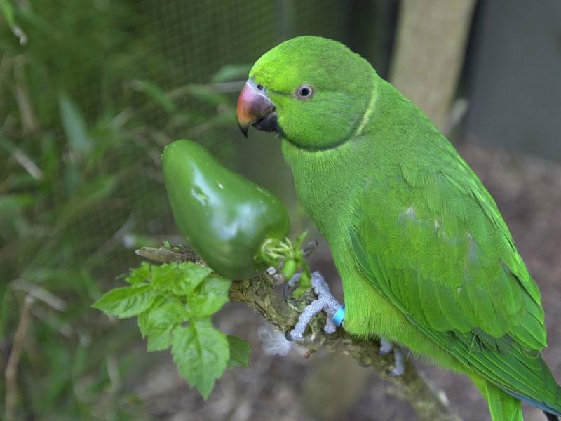 echo-parakeet