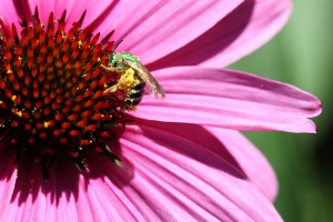 Canadian Pollinator Conservation 2013: Next Steps