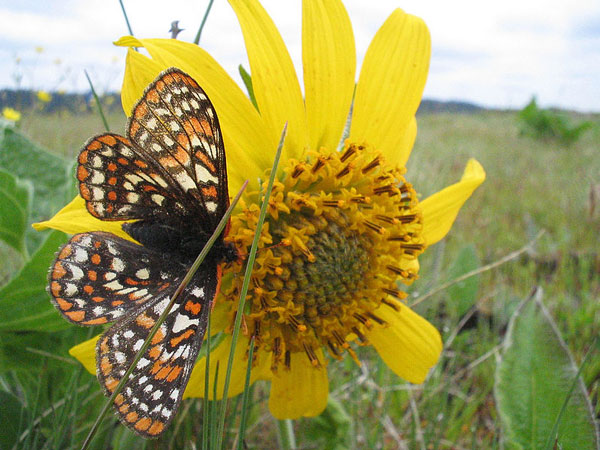 Taylor's Checkerspot
