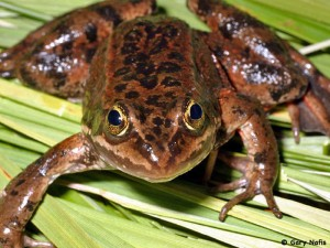 Oregon-spotted-frog