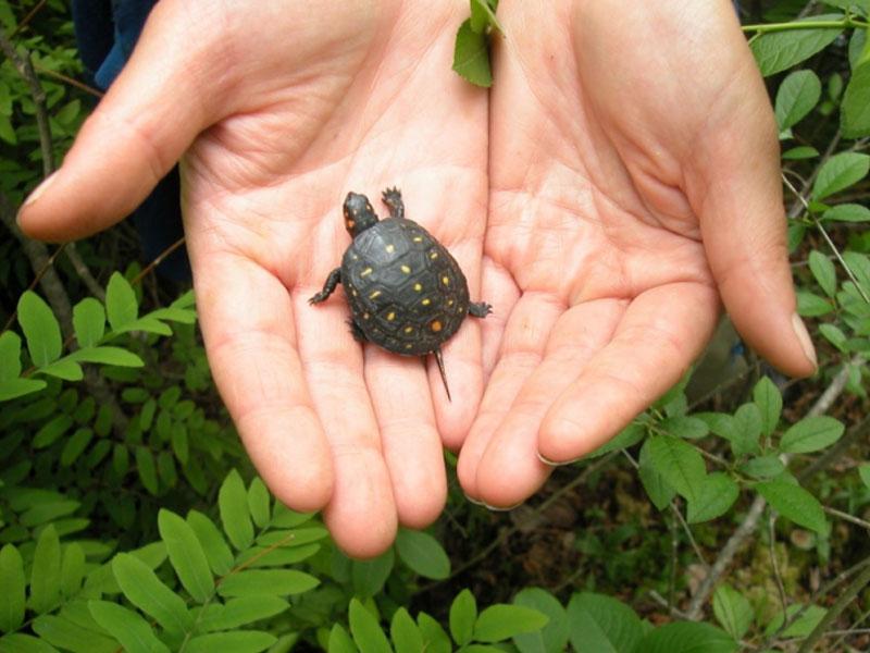 Freshwater Turtle Program