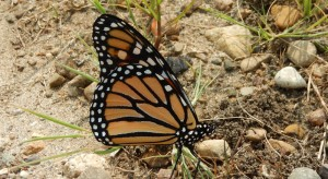 Adult-Monarch-CROP