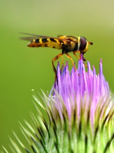 syrphid-on-thistle-small