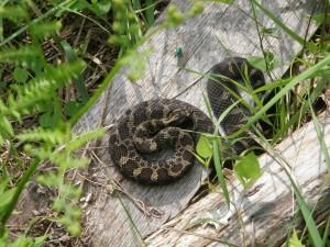 Ojibway Eastern Massasauga Rattlesnake