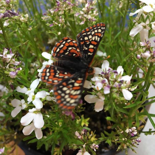 First endangered butterflies hatch