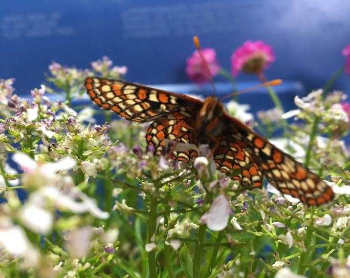 media release checkerspot