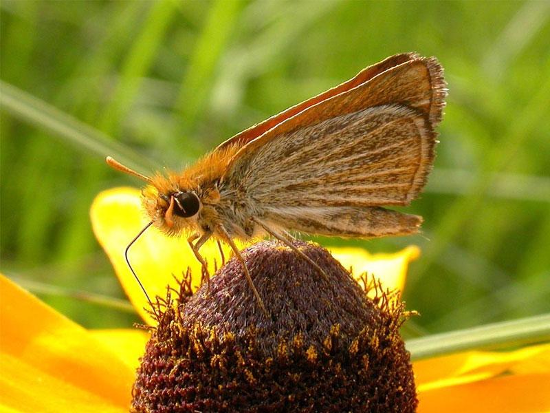 Prairie Butterflies