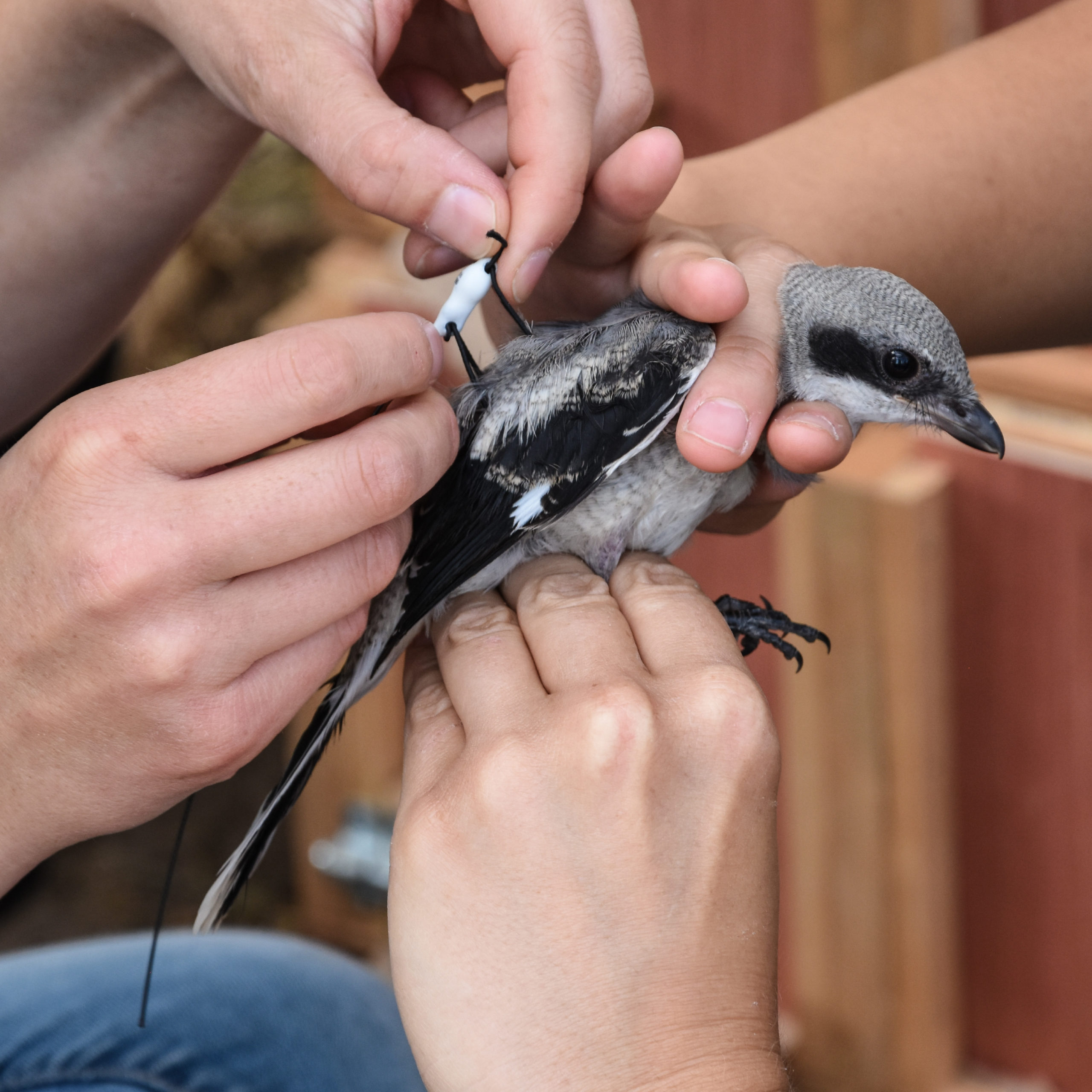 A young eastern loggerhead shrike being fitted with a radio-transmitter so we can track her migration routes after release. This transmitter is designed to fall off after 6 months.