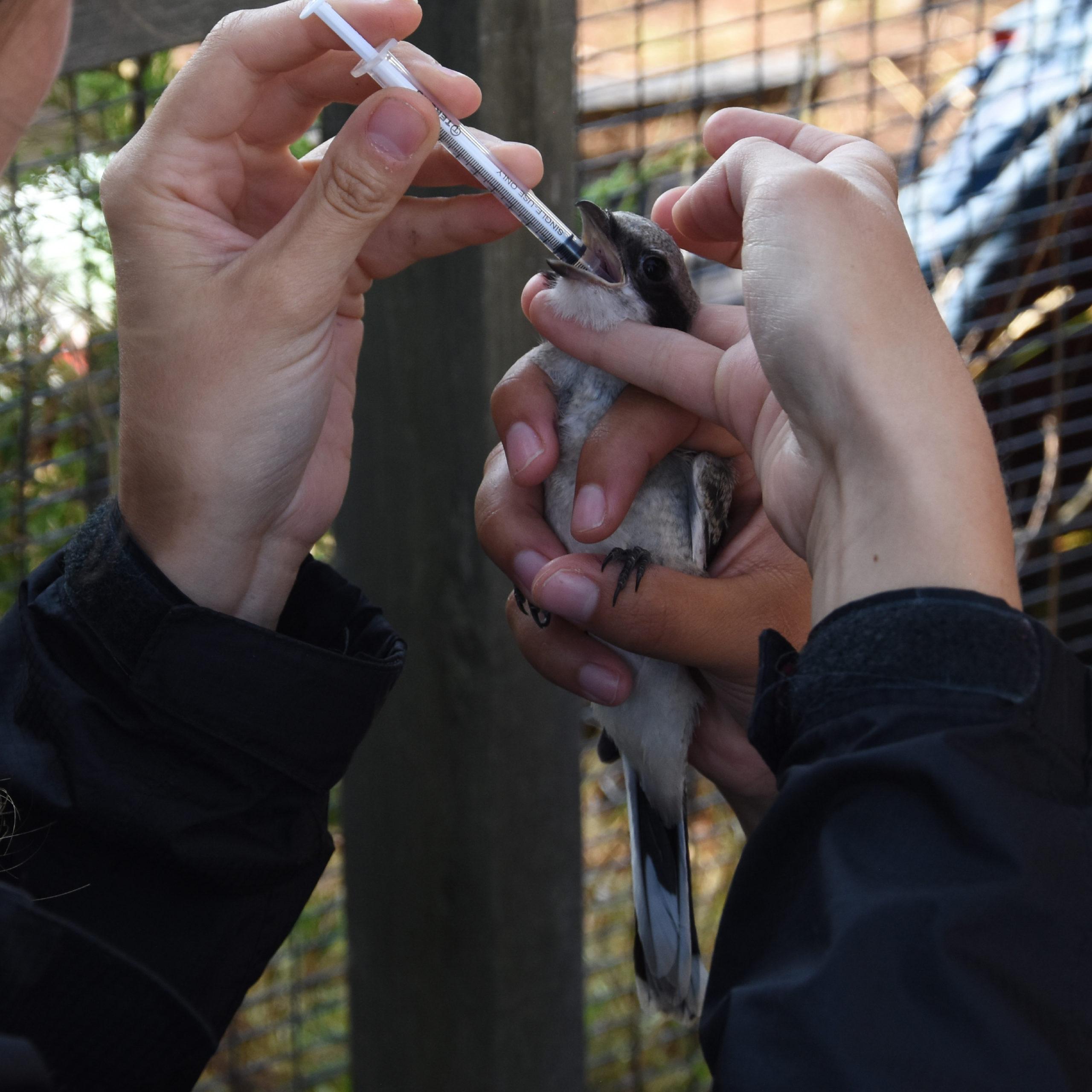 A young loggerhead shrike receives a dose of preventative medicine to combat parasites.