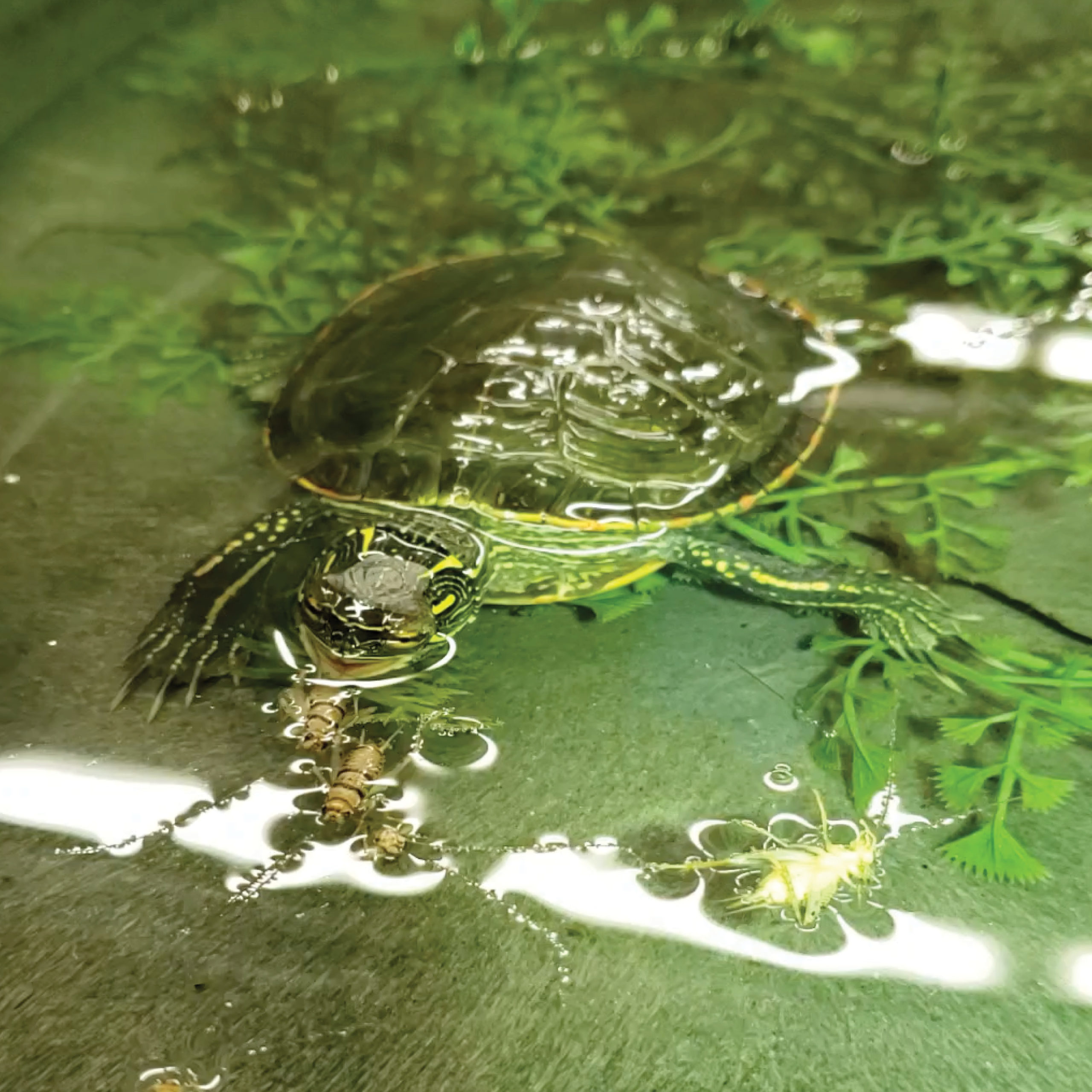 A young western painted turtle provided with a diet that includes shrimps and crickets.