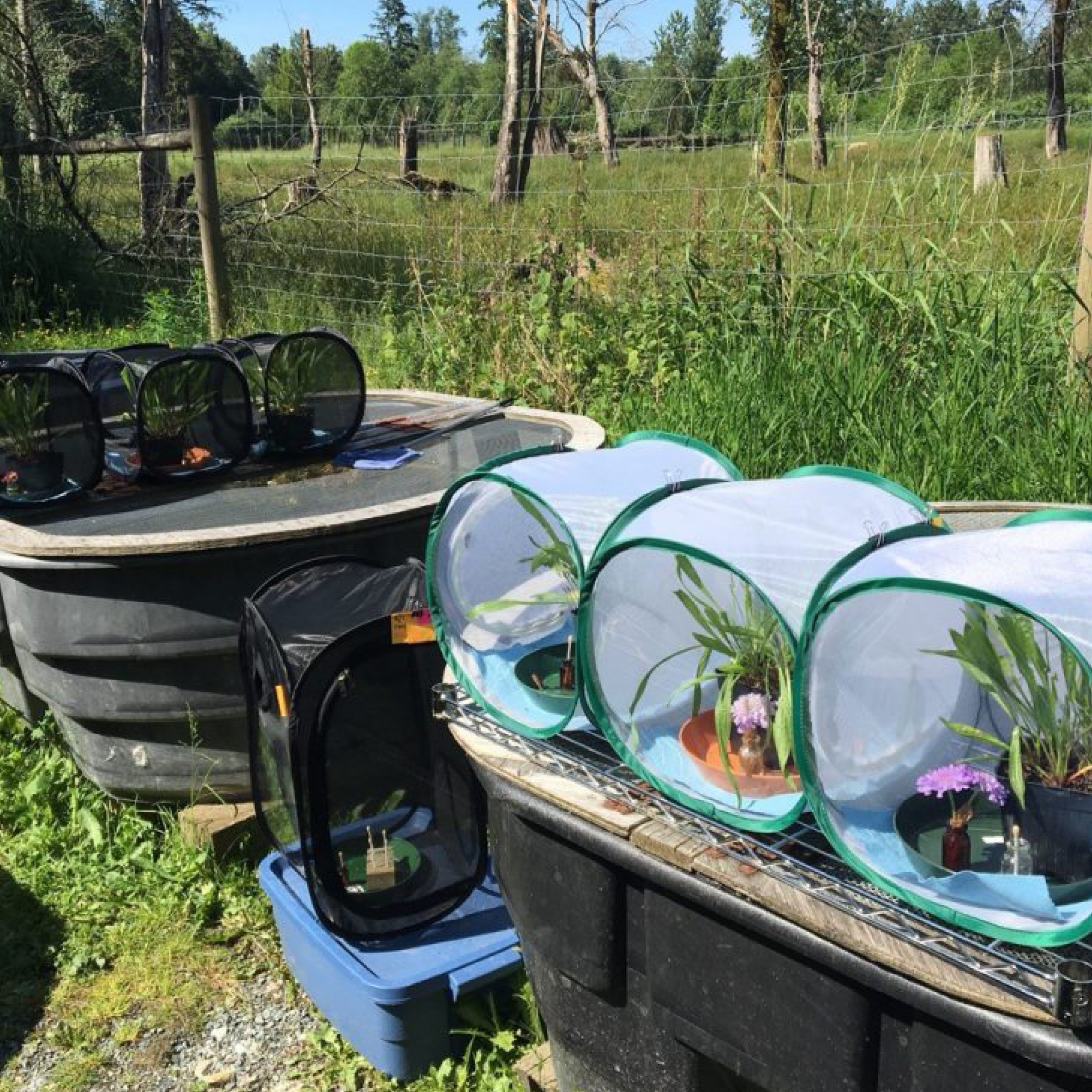 Temporary breeding enclosures are used for Taylor's checkerspot butterflies in BC so that males and females can mate and produce eggs for the conservation breeding program.