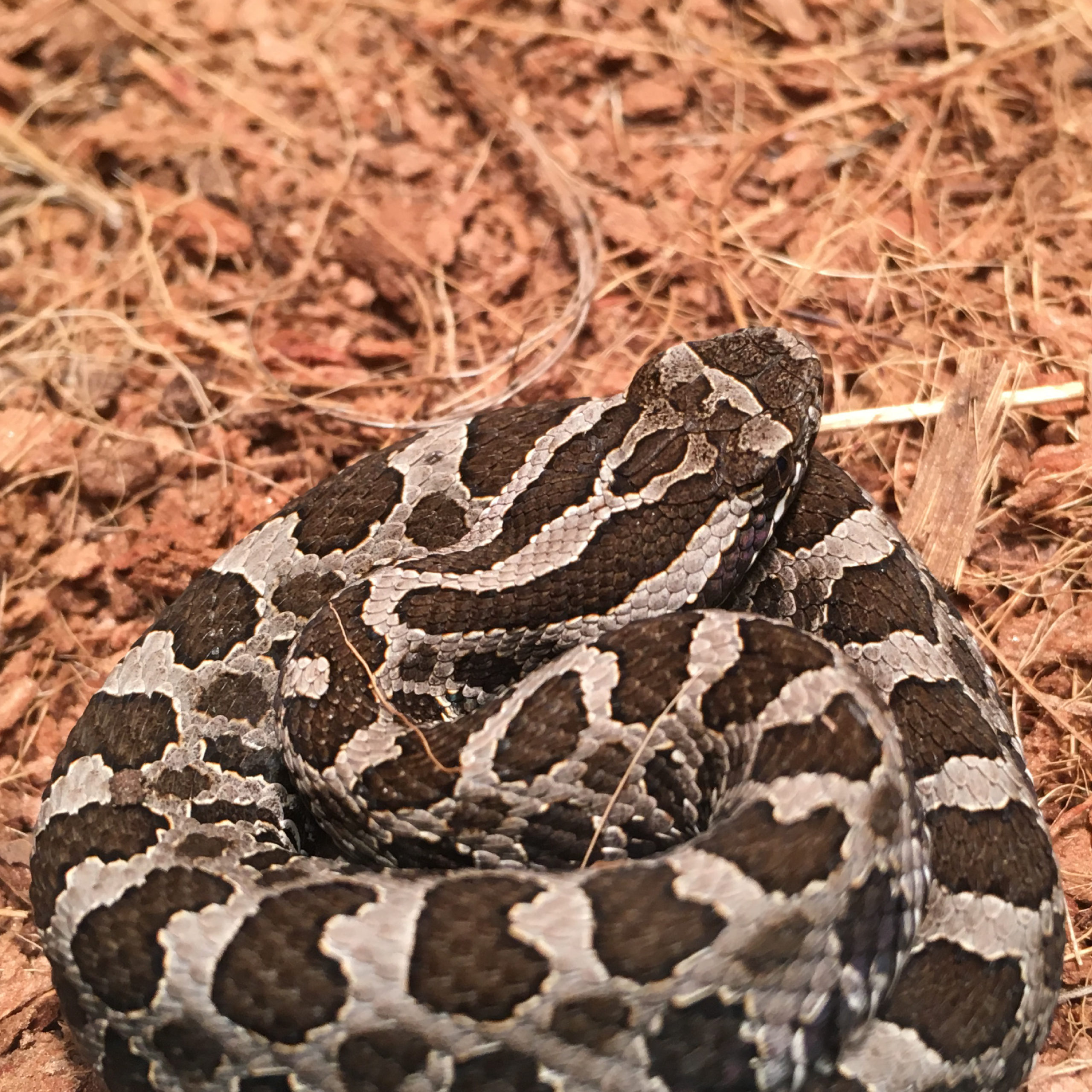 Wood shavings are provided as substrate for massasauga rattlesnakes while they are in captivity awaiting release.