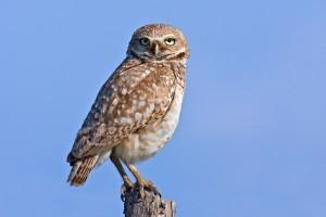 Burrowing Owl (Male), Farm Road Off SR17, Near Othello, Washington