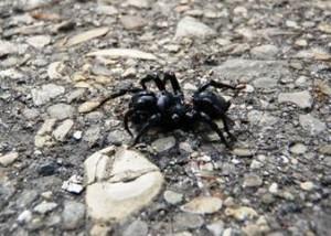 Purse-web spider (Sphodros niger).