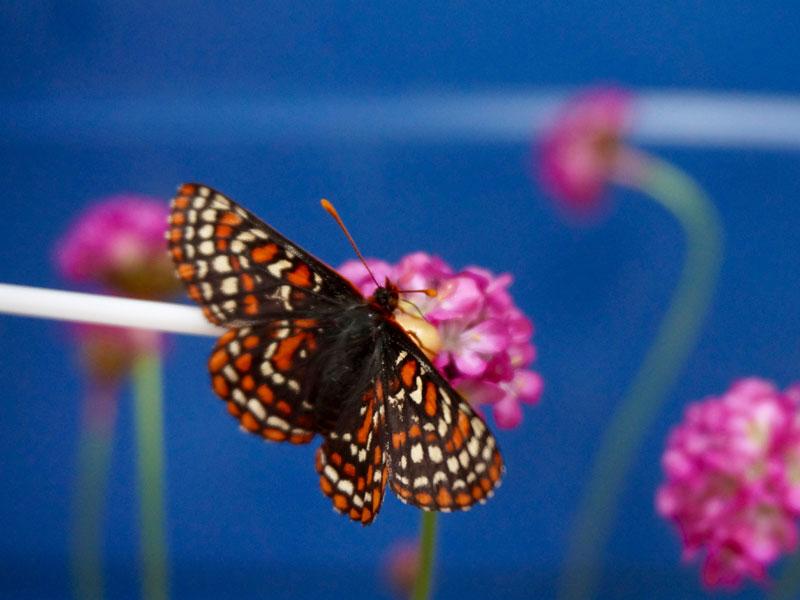 Importance of Butterflies