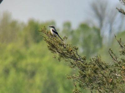 Shrikes at my Bird Feeder: A Lesson in Public Education