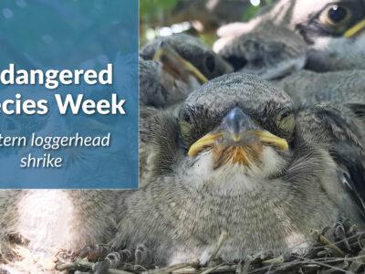 Endangered Species Week – Loggerhead Shrike