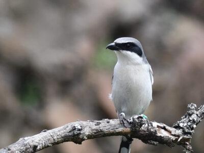 The return of a loggerhead shrike biologist