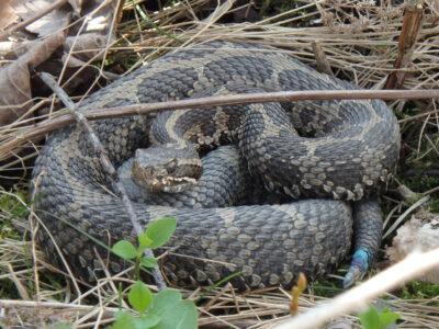 The wonderful world of Ontario snakes