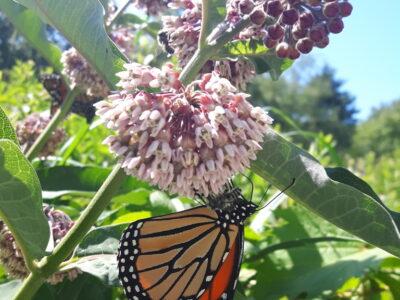 Keeping milkweed in the prairie