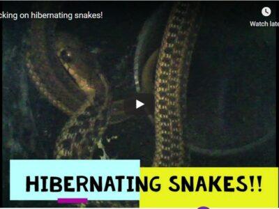 Checking on hibernating snakes