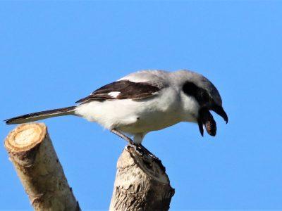 Same, same but different! How the loggerhead shrike is an honorary raptor