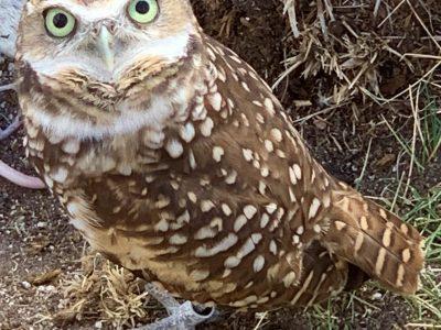 Digging burrows is hard work! Reintroducing burrowing owls to the prairies