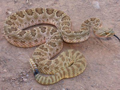 URBAN VIPERS: The Prairie Rattlesnakes of Lethbridge