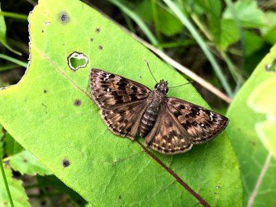 Saving an endangered butterfly