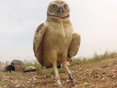 Preparing burrowing owls for migration