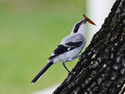 Shrike program paving the way in migratory songbird conservation